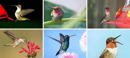 Pictures of Hummingbirds